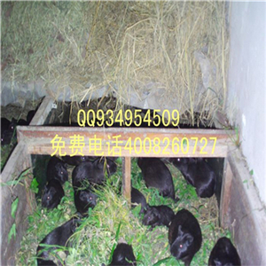 黑豚鼠养殖视频致富经广西黑豚鼠价格