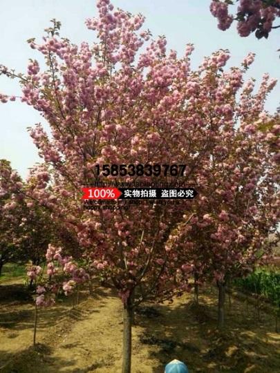 8公分樱花树什么价格
